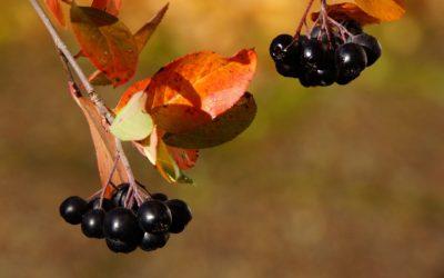 Arónie, černý zázrak plný vitamínů a antioxidantů