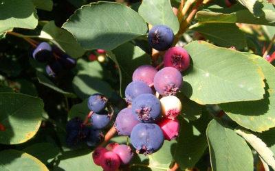 Muchovník, netradiční ovoce z kanadských prérií